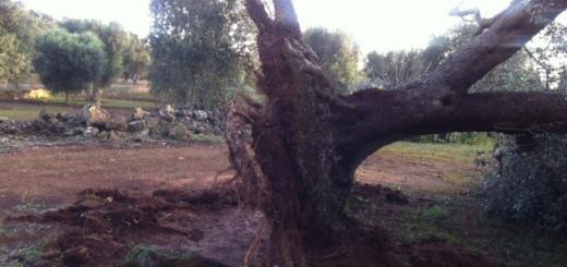 alberisradicati1